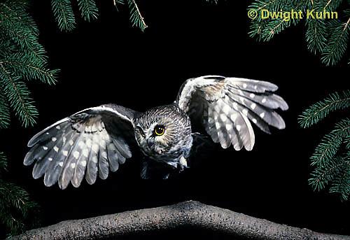 OW07-059z  Saw-whet owl - flying - Aegolius acadicus