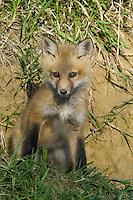 Red Fox Kit sitting outside its den