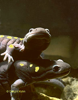 SL05-013x  Spotted Salamanders doing nose rub mating dance in Maine pond - Ambystoma maculatum