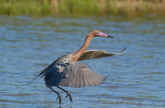 Reddish Egret (Egretta rufescens) temporarily in flight while foraging in a lagoon, Fort DeSoto Park, Florida, USA