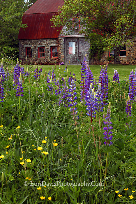 #F38 Old Stone Barn surrounded by Lupine