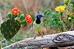 Green Jay perched on a log between Prickly Pear Cactus blooms in South Texas.