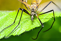 Norway, Stavanger. Crane fly. Focus stack.