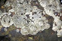Elminius modestus