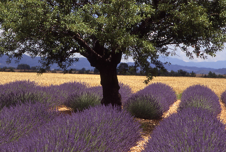 Europe, FRA, France, Provence, bei Valensole, Field of lavender, Blossom, Almond tree, Lavandula angustifolia, latifolia, hybrida (= intermedia)....[ For each utilisation of my images my General Terms and Conditions are mandatory. Usage only against use message and proof. Download of my General Terms and Conditions under http://www.image-box.com or ask for sending. A clearance before usage is necessary...Material is subject to royalties. Each utilisation of my images is subject to a fee in accordance to the present valid MFM-List...Contact | archive@image-box.com | www.image-box.com ]