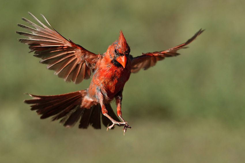 Male cardinal in partial Summer molt.