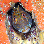 Seaweed Blenny Male guarding eggs; Parablennius marmoreus; combtoothed blenny; bottom dwellers; underwater marine behavior; mating behavior; underwater photography; travel photography; animal planet; underwater bio-diversity; portraits of the sea; amazing underwater photography; underwater nature; photojournalism; National Geographic; under the Blue Heron Bridge; Lake Worth Inlet; Riviera Beach; Florida; Palm Beach Photography; Tropical fish; tropical fish behavior; purple fish with purple eggs; red sponge background; sea-scapes
