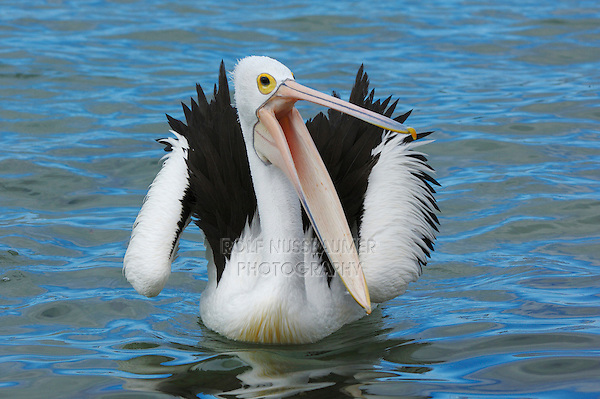 Australian Pelican (Pelecanus conspicillatus), adult yawning, Australia