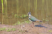 Northern Lapwing (Vanellus Vanellus) Feeding on the waters edge. Sometimes known as a Peewit, Green Plover, Teuchit, Hornpie, Flopwing, .Chaucer wrote of the 'false lapwynge, ful of treacherye', the lapwing has had an association with deceit, perhaps because of its beautiful plumage and joyous display flights.