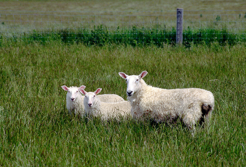 A mother with 2 lambs (part of New Zealands 70 million SHEEP) graze on lush pasture near QUEENSTOWN, NEW ZEALAND.