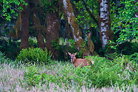 Roosevelt Elk (Cervus canadensis roosevelti) calf, sometimes called Olympic Elk, standing in meadow.  Olympic National Park, WA.  Summer.