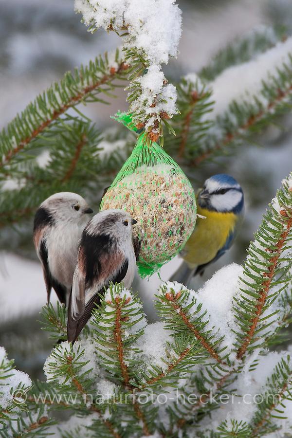 Schwanzmeise, Schwanz-Meise, an der Vogelfütterung, Fütterung im Winter bei Schnee, am Meisenknödel, Fettfutter, Winterfütterung, Meise, gemeinsam mit Blaumeise, Aegithalos caudatus, long-tailed tit, Mésange à longue queue
