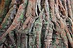 California Redwood Bark, Whakarewarewa Forest, Rotorua, New Zealand