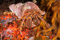 QX72341-D. Widehand Hermit Crab (Elassochirus tenuimanus). Washington, USA, Pacific Ocean.<br /> Photo Copyright &copy; Brandon Cole. All rights reserved worldwide.  www.brandoncole.com