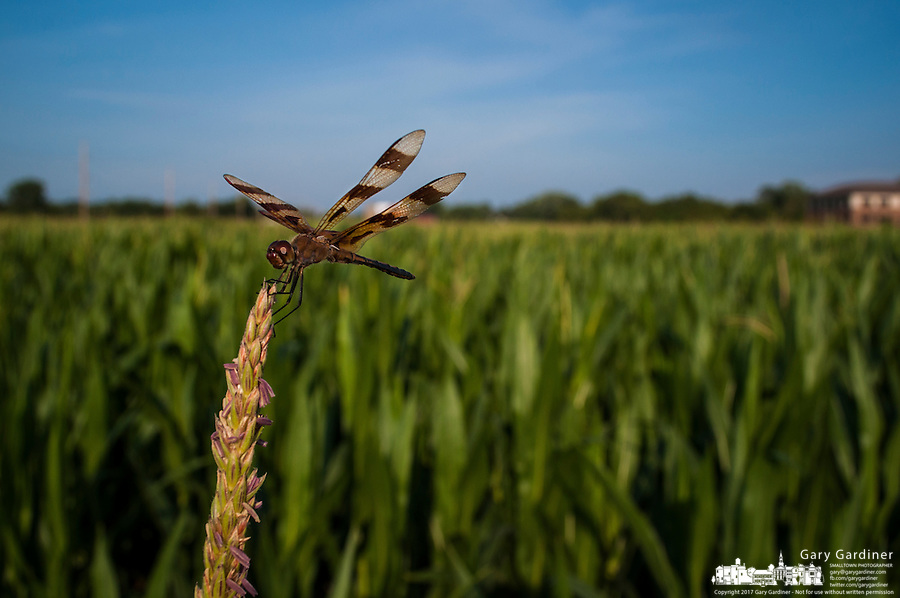 Dragonfly on early corn tassell.