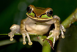 Masked Tree frog, Smilisca phaeota, Hacienda Baru, Costa Rica, tropical jungle, portrait, on leaf,.Central America....