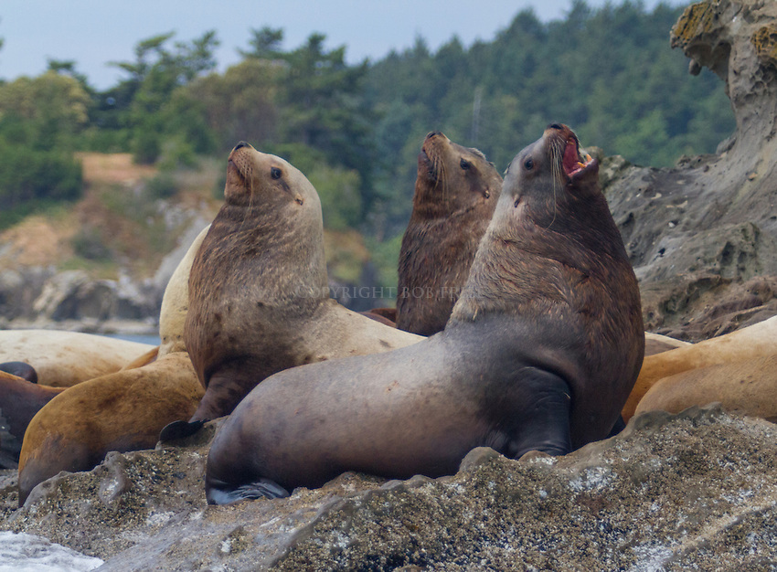 Steller Sea Lions, Salish Sea Puget Sound