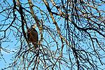Bald Eagle - Lawrence, Kansas