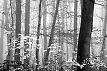 Europa, DEU, Deutschland, Nordrhein Westfalen, NRW, Rheinland, Niederrhein, Krefeld, Wald, Buchenwald, Herbst, Nebel, Kategorien und Themen, Natur, Umwelt, Landschaft, Jahreszeiten, Stimmungen, Landschaftsfotografie, Landschaften, Landschaftsphoto, Landschaftsphotographie, Wetter, Wetterelemente, Wetterlage, Wetterkunde, Witterung, Witterungsbedingungen, Wettererscheinungen, Meteorologie, Wettervorhersage<br /> <br /> [Fuer die Nutzung gelten die jeweils gueltigen Allgemeinen Liefer-und Geschaeftsbedingungen. Nutzung nur gegen Verwendungsmeldung und Nachweis. Download der AGB unter http://www.image-box.com oder werden auf Anfrage zugesendet. Freigabe ist vorher erforderlich. Jede Nutzung des Fotos ist honorarpflichtig gemaess derzeit gueltiger MFM Liste - Kontakt, Uwe Schmid-Fotografie, Duisburg, Tel. (+49).2065.677997, <br /> archiv@image-box.com, www.image-box.com]