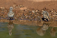 574470033 a wild gambel's quail chick callipepla gambelli drinks from a pond in green valley arizona united states