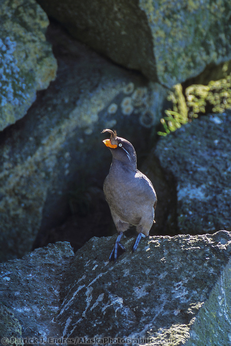 Crested Auklet, St. Paul, Pribilof Islands, Alaska.