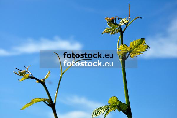junge Weintriebe vor blauem Himmel