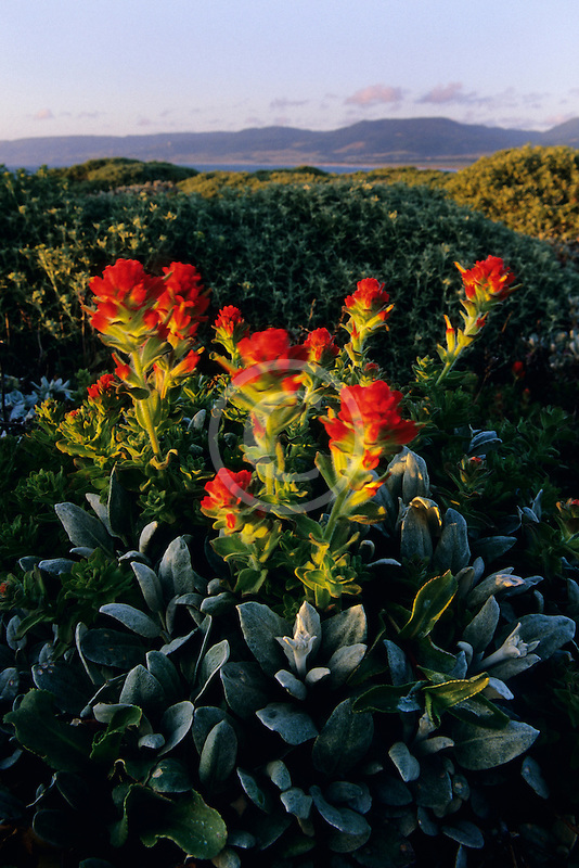 California, Point Arena, Indian paintbrush