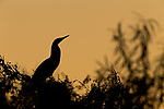 Rufescent Tiger-Heron (Tigrisoma lineatum) at sunrise, Ibera Provincial Reserve, Ibera Wetlands, Argentina