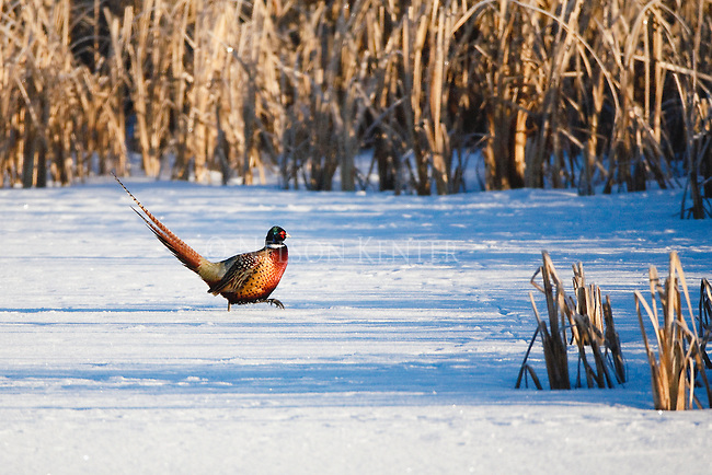 A rooster pheasant walking across frozen pond in a cattail marsh in winter in Montana