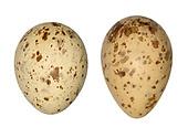Woodcock - Scolopax rusticola