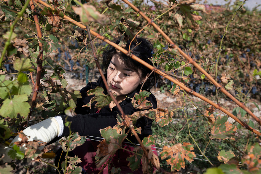 China - Ningxia - A Chinese volunteer harvests the grapes in Silver Heights vineyard. Silver Heights started out as a family business in 2007, with just one hectare of vines and a pro-duction of around 3,000 bottles. Owned by Gao Yuan and her husband, Frenchman Thierry Cour-tade, it is nowadays recognised as one of Ningxia's best wineries.