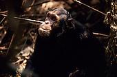 Mahale Mountains, Tanzania. Chimpanzee eating a leaf.