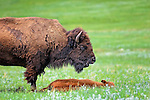 Adult male bison standing over a young calf in Custer State Park, SD