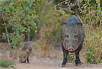 650520210 a wild baby javelina dicolytes tajacu interacts with its mother on beto gutierrez ranch hidalgo county texas united states