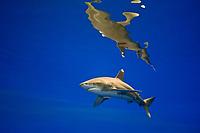 oceanic whitetip shark, Carcharhinus longimanus, threatened spcecies, Kona Coast, Big Island, Hawaii, USA, Pacific Ocean