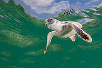 Australian flatback sea turtle hatchling swims out to sea from nesting beach, Natator depressus (c-r), Torres Strait, Queensland, Australia - a marine reptile endemic to the Australian continental shelf