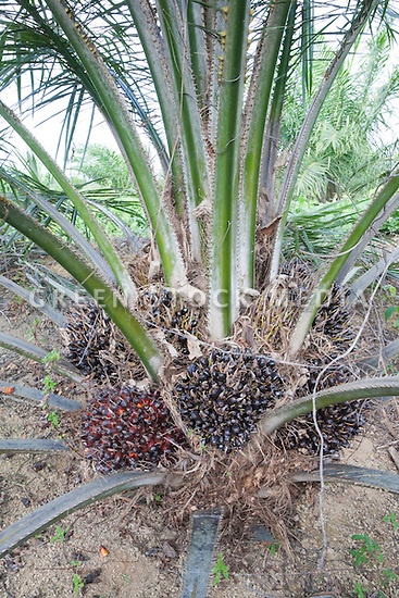 High angle view of unripe fresh fruit bunches growing on young oil palm. The Sindora Palm Oil Plantation, owned by Kulim, is green certified by the Roundtable on Sustainable Palm Oil (RSPO) for its environmental, economic, and socially sustainable practices. Johor Bahru, Malaysia