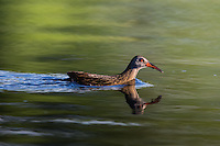 Virginia rail swimming