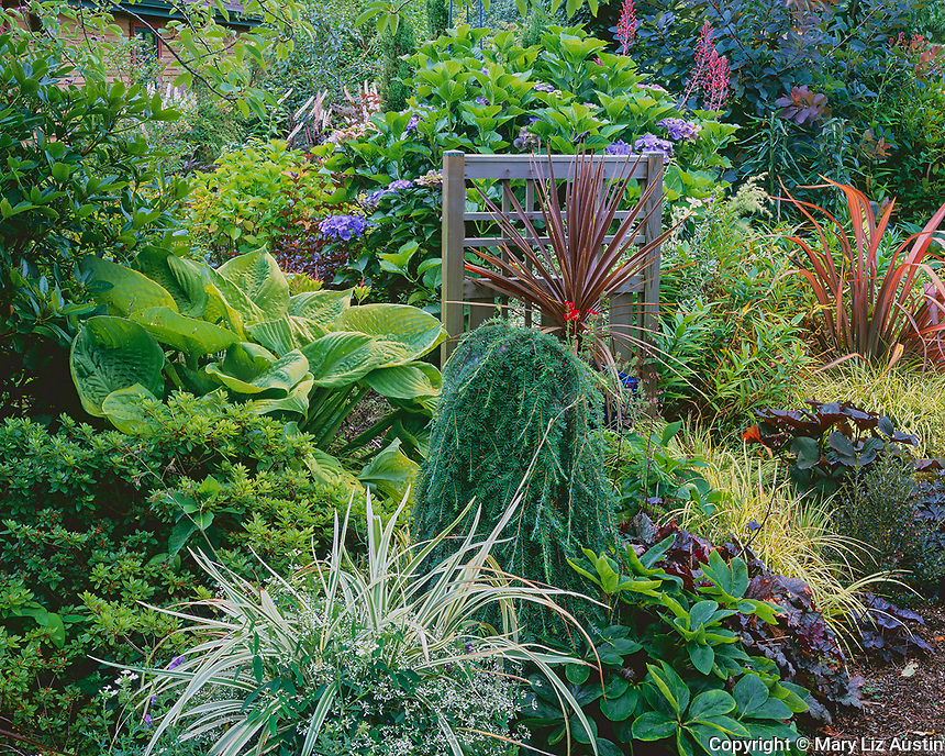 Vashon Island, WA           <br /> Summer garden featuring a weathered cedar screen with phomiums, hydragneas, hostas, grasses, hellebores, and heucheras
