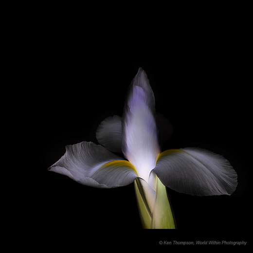 Iris, Backlit on Light Box. with the Lightness Channel in Photoshop inverted