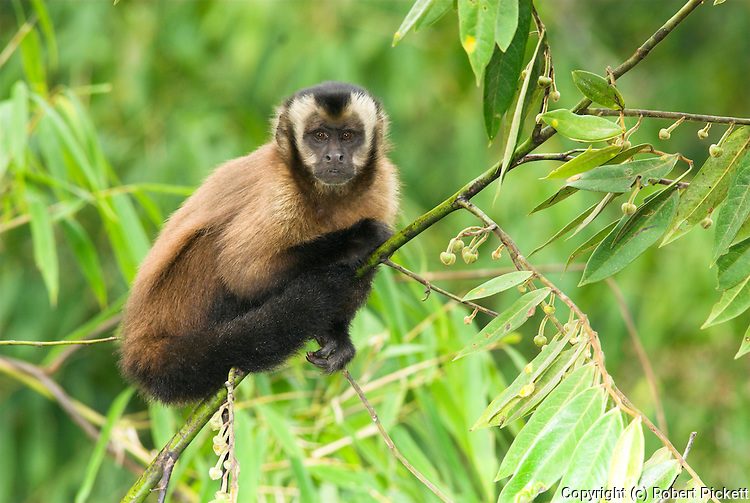 Brown Capuchin Monkey, Cebus apella, climbing in bush, Cock of the Rock, Manu, Peru, Andes, Amazonian Rainforest, jungle,  diurnal, arboreal, new world, omnivores. .South America....