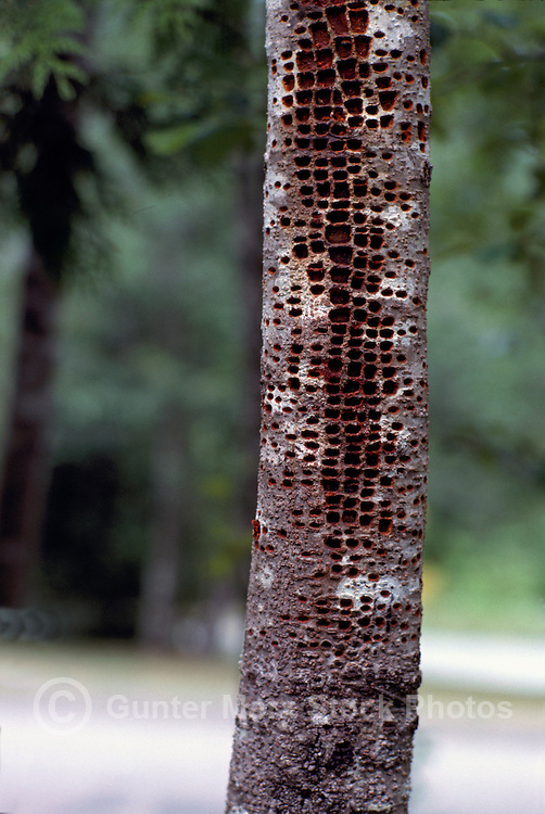 Woodpecker Tree Damage - Small Holes drilled in Tree Trunk and Bark by Yellow-Bellied Sapsucker (Sphyrapicus varius) Bird