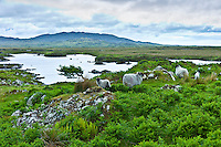 Mountain sheep and windblown tree on the Old Bog Road, near Roundstone, Connemara, County Galway