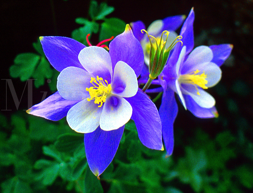 Blue Columbine Flower Detail, Aquilegia coerulea L.,. Colorado, San Juan National Wilderness Area.