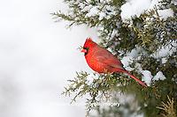 01530-21010 Northern Cardinal (Cardinalis cardinalis) male in Keteleeri Juniper tree (Juniperus chinensis 'Keteleeri') in winter, Marion Co., IL