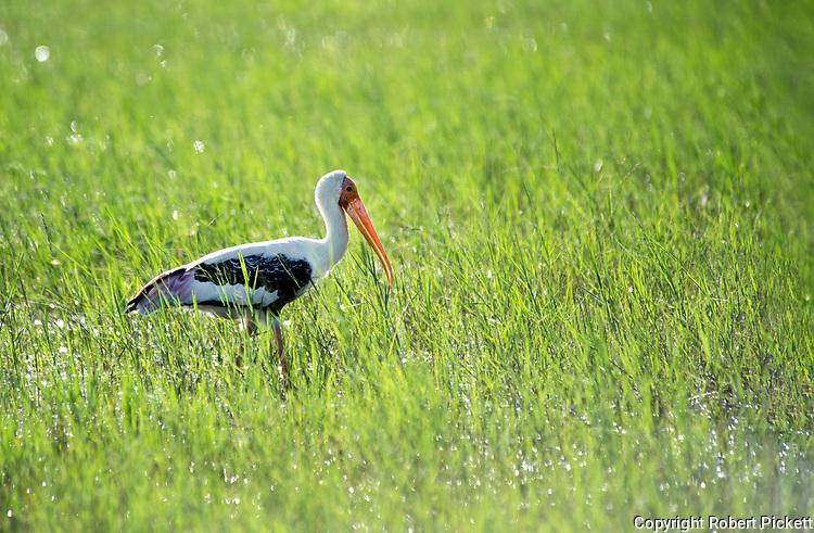 Painted Stork, Mycteria leucocephala, wading in grass and water, backlight by sunshine, Ramsar Wetland, Sri Lanka