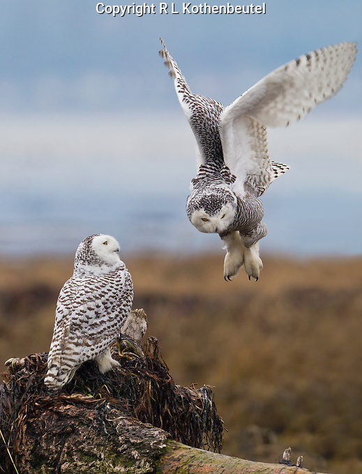 Snowy owl about to land next to another one perched on a diftwood stump.<br /> Boudary Bay, Ladner, British Columbia, Canada<br /> 12/3/2011