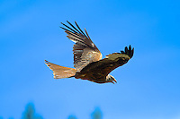 Close-up of red kite in flight against a blue sky