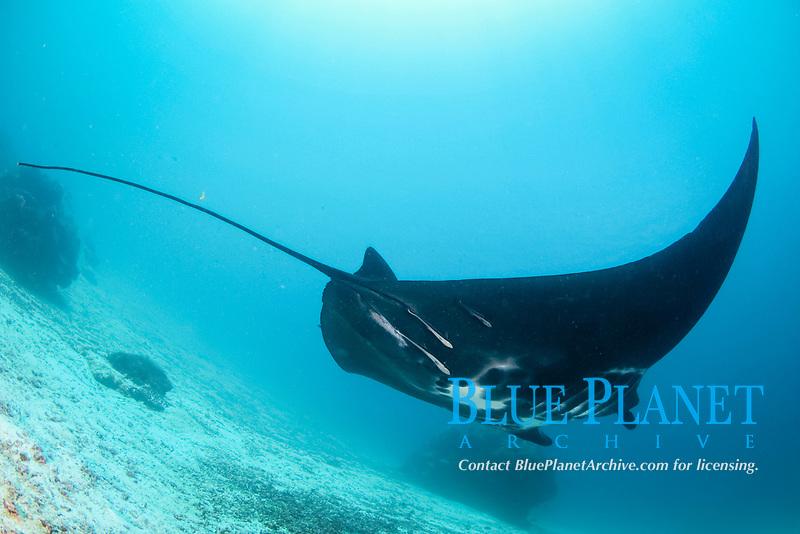 A black reef manta ray, Manta alfredi, Manta Sandy, Dampier Strait, Raja Ampat, West Papua, Indonesia, Pacific Ocean