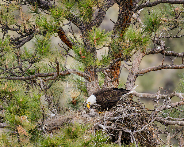 Bald Eagle Nest (Haliaeetus leucocephalus)--adult feeding two week old eaglets in tall ponderosa pine tree.  Oregon.  April.